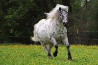 Pony Branko auf dem Reiterhof Bartel_1