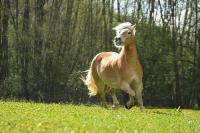 Pony Paul auf dem Reiterhof Bartel_1