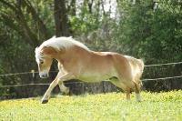 Pony Paul auf dem Reiterhof Bartel_4