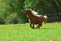 Pony Tom auf dem Reiterhof Bartel_2